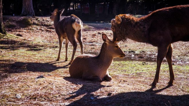 Sika (しか) deer sunbathing in Nara Park. Fun fact: Sika by itself means deer, but the official English documentation categorised Sika as a species of deer, Cervus nippon, officially calling it Sika Deer. Translated back to Japanese, it would literally mean 'Deer Deer'.